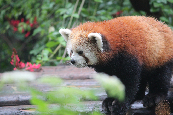 red pandas, panda base, chengdu panda base, cute animals