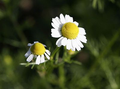 Chamomile flowers, image from Wikimedia Commons