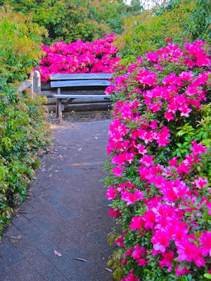 blackheath Rhododendron Garden, Bacchante Street, Blackheath, Blue Mountains