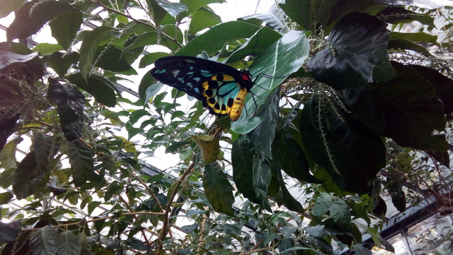Cairns Birdwing butterfly butterfly house Melbourne Zoo