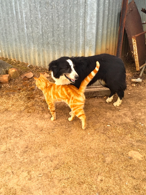 cat and dog, sheep dog, shearing, woolshed, cat
