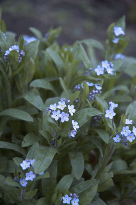 Forget-me-nots, valentines day,
