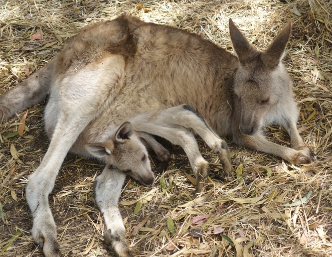 kangaroo,mother,child,joey,kangaroos,australia,tasmania,wildlife,marsupial,two