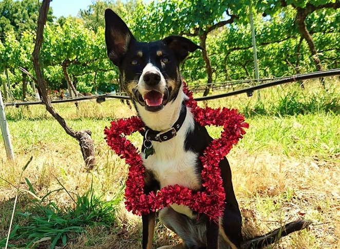 murrumbaten winery, canberra, christmas events, dogs, mollie and tanins christmas party, ACT, NSW, winery, events, dogs,