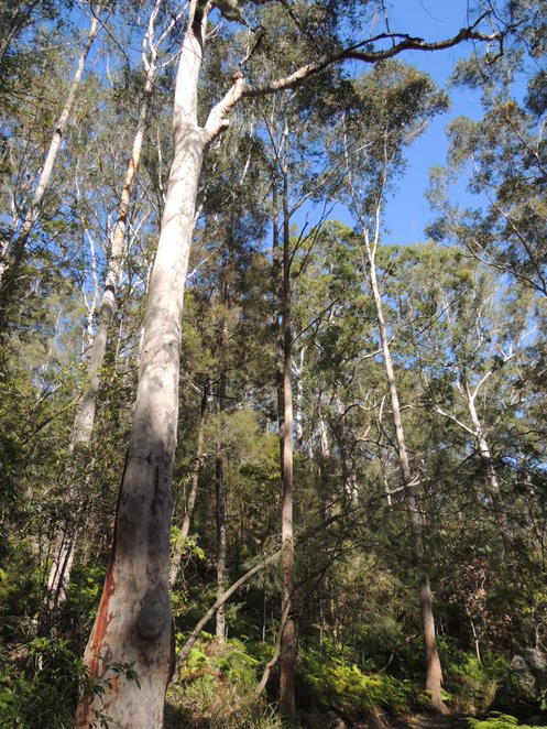 blue gum trees along the way