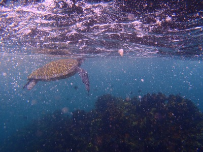 byron Bay Dive Centre, snorkel with turtles Byron Bay