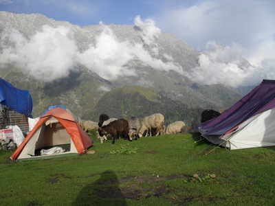 Cows, tents, triund, mcleod ganj, dharamsala, trek