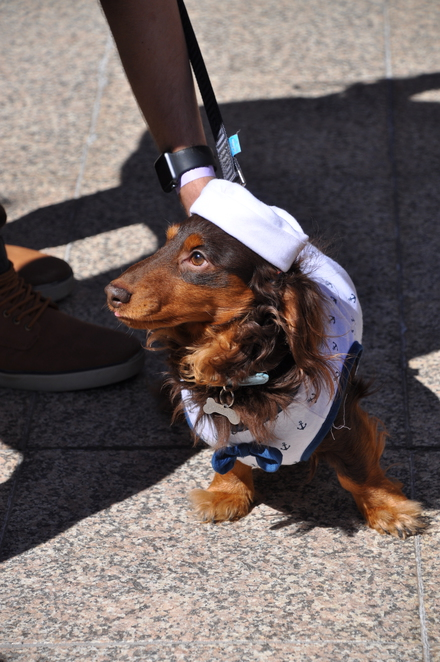 dachshund, dog, parade, NGV, Melbourne, Great Hall, doggy day, Kids Summer Festival, kid friendly, event, show, free