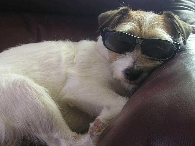 dog sunglasses jack russell canine white brown fluffy coat