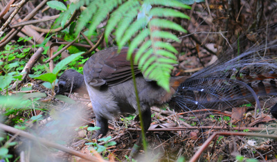 Male Superb Lyrebird