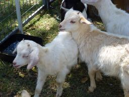 Kalbar Country Day, Kalbar, Scenic Rim, Hay Festival, goats, petting zoo