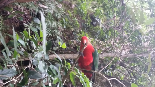 King parrot in rainforest