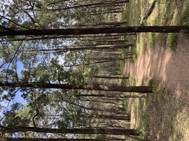 Native pine forest
