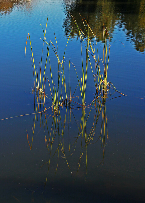 reed reflection.