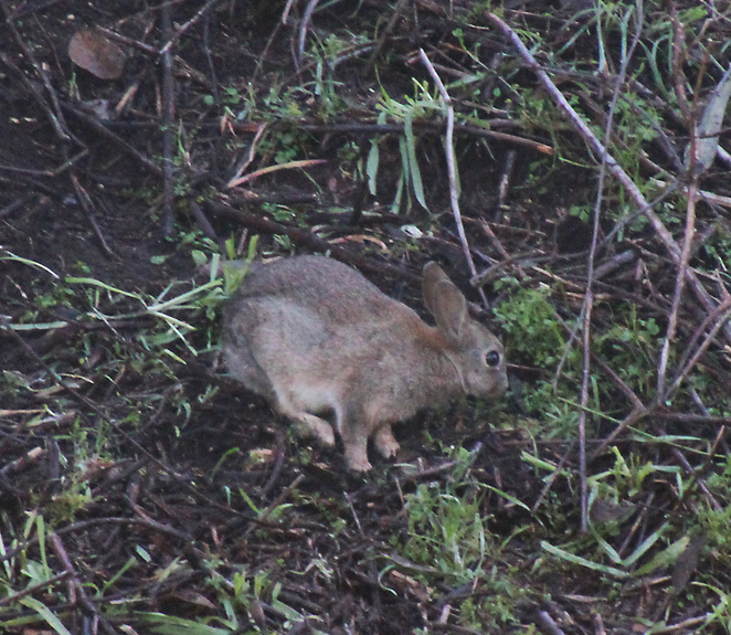 South Australian wildlife, wildlife photography, South Australian tourism, Adelaide tourism, Adelaide wildlife, South Australia nature, Lenswood, Adelaide Hills, rabbit