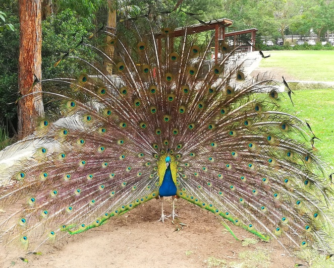blackbutt reserve, peacocks, animals, playgrounds, carnley reserve, kids, children, zoos, school holiday activities, free entry, newcastle council, NSW, things to do in newcastle, kids, free entry, near kotara westfield, playgrounds in newcastle,
