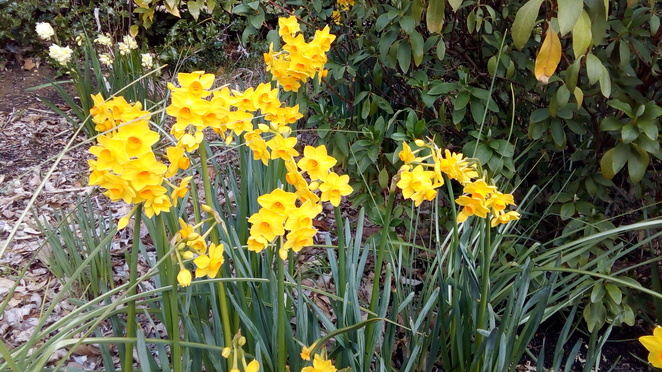 daffodils, garden of st erth, blackwood