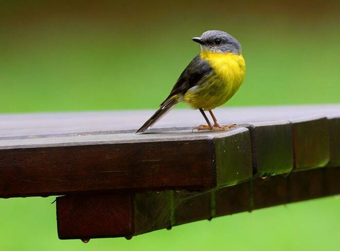 An eastern yellow robin in the Pademelon Picnic Area
