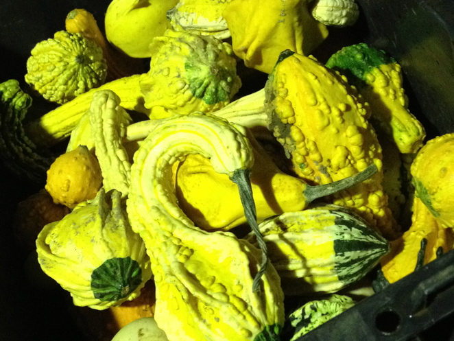 Ornamental Squash, australian Certified Organics, Spring Creek Organic Farm, spaghetti squash, pumpkins, organic vegetables, buy local vegetables, heirloom vegetables, Spring Creek Organic Farm Market Times,