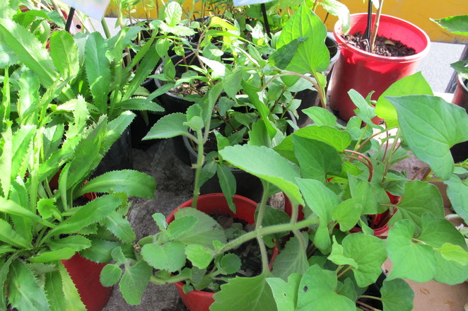pot plants, potted herbs, herb plants, balcony garden, herb plants, farmers markets