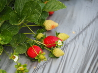 Rolin Farms, Strawberries