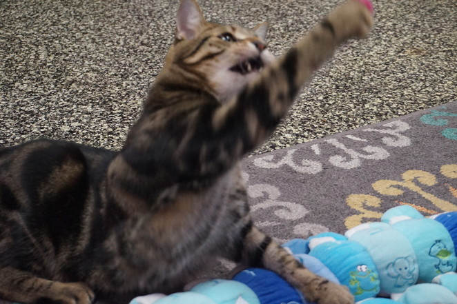 Augustus playing with wool