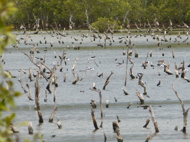 Create-a-Tour,Wynnum Wetlands, Black-winged Stilts, birdwatching Brisbane