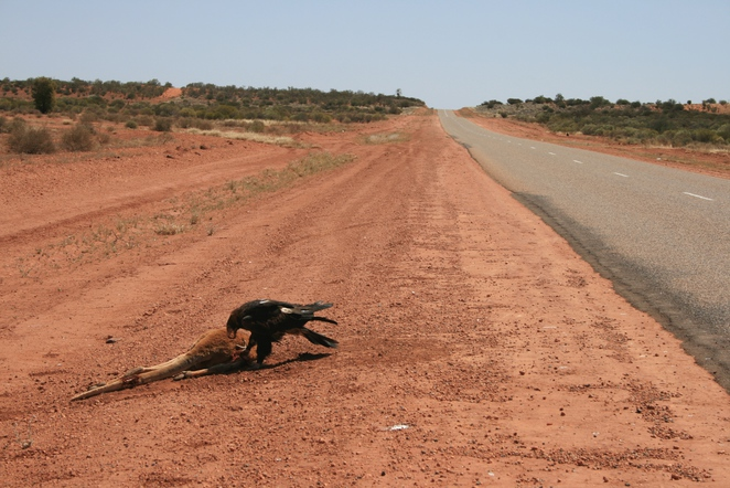 eagles northern territory carcass