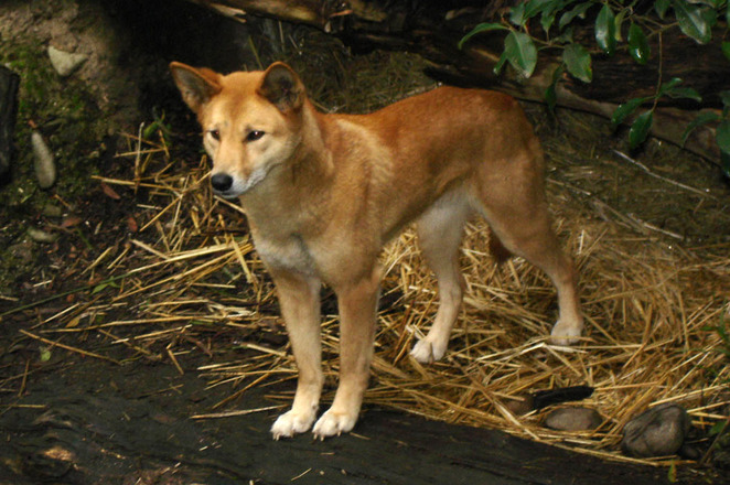 Dingos can attack when in packs (Courtesy of Wikimedia)