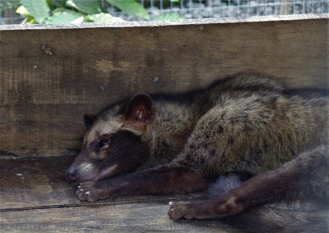 Indonesian palm civet at Lumbung Sari House of Coffee in ubud bali