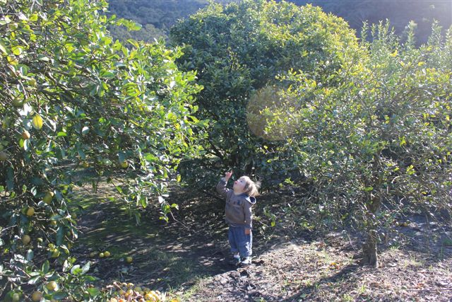 Mandarins, pick your own, Hawkesbury trail, wisemans ferry, fun with kids, pick your own mandarins, day out with kids, family day trips, Sydney local day trips, Sydney. Sydneyfoodie, 3eggsfullblogspot, 3eggsfull, Lilbusgirl, EllenH, Fords Farm