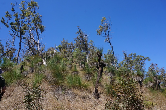More grass trees