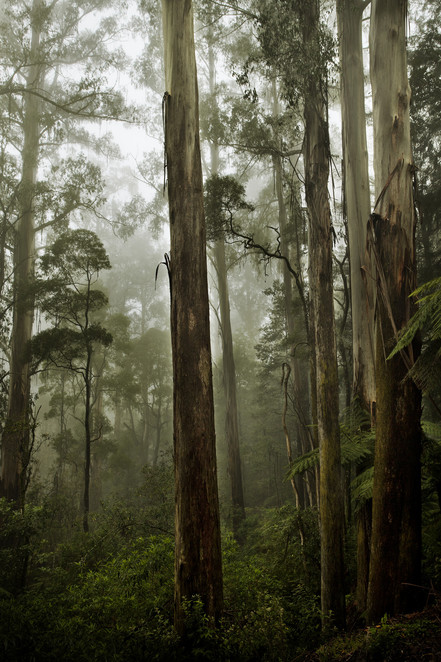Mountain ash,Great Forest National Park