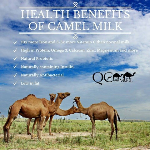 QCamel Dairy Farm, Tour, behind-the-scenes, meet the camels, nutritious milk, views to the glass house mountains, fun, outdoor, canapés