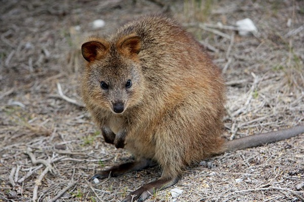 Quokka,found,only,on,Rottnest,Island,WA