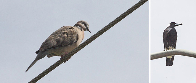 spotted dove & magpie.