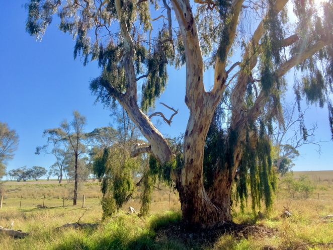 Weeping Yellow Gum Tree Nhill, Nhill attractions, things to see in Nhill, attractions in Nhill, Weekend Escapes Melbourne, image by Jade Jackson