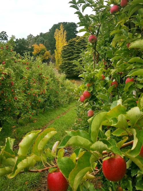 Adelaide, Autumn, Events, Pick a Pink Lady, Apples, Adelaide Hills, Lenswood, Family