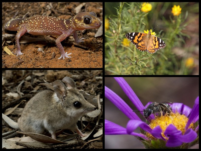 gecko, native bee, dunnart, butterfly, junior ranger bioquest