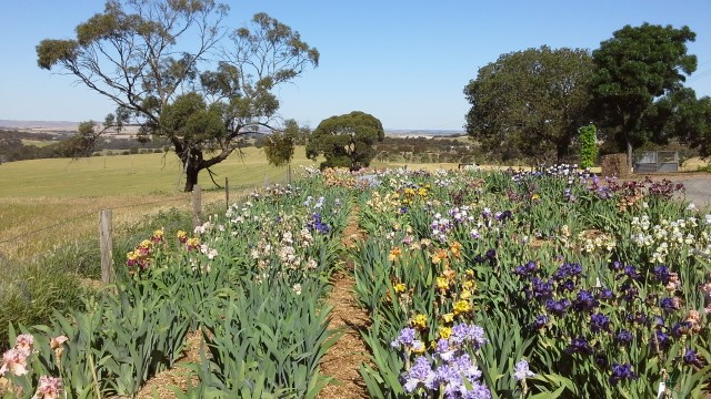Smokin' Heights Iris Garden Kapunda