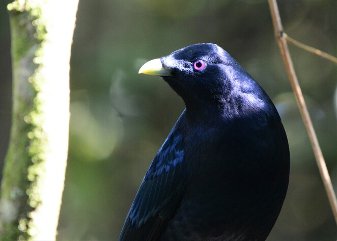 Satin bower birds are just one of the beautiful species who frequent the gardens