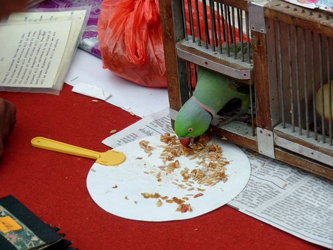 parrot astrology in little india singapore