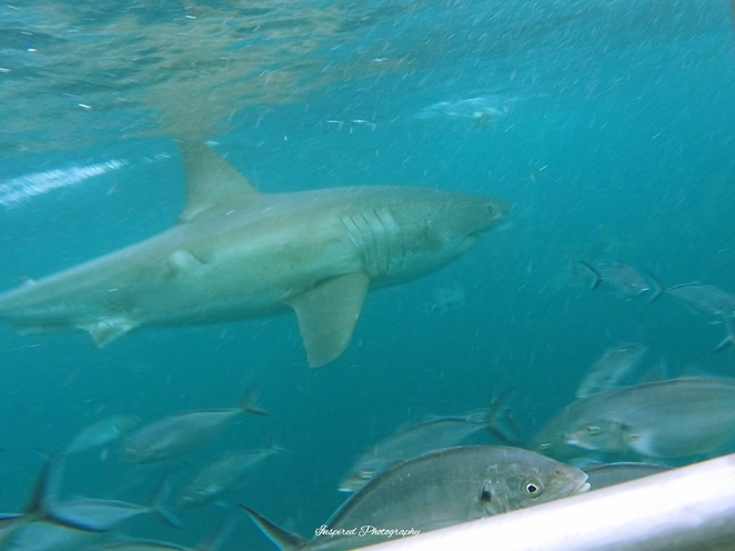 Shark Cage Diving, Calypso Star Charters, Port Lincoln, Port Lincoln Marina, Port Lincoln Hotel, Neptune Islands, Swim with the Sealions, Lincoln National Park