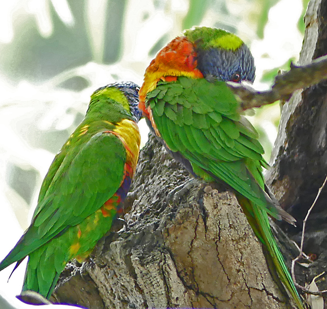 South Australian wildlife, South Australian tourism, Wildlife photography Wildlife stories, Bonython Park, Playground, lorikeets nesting