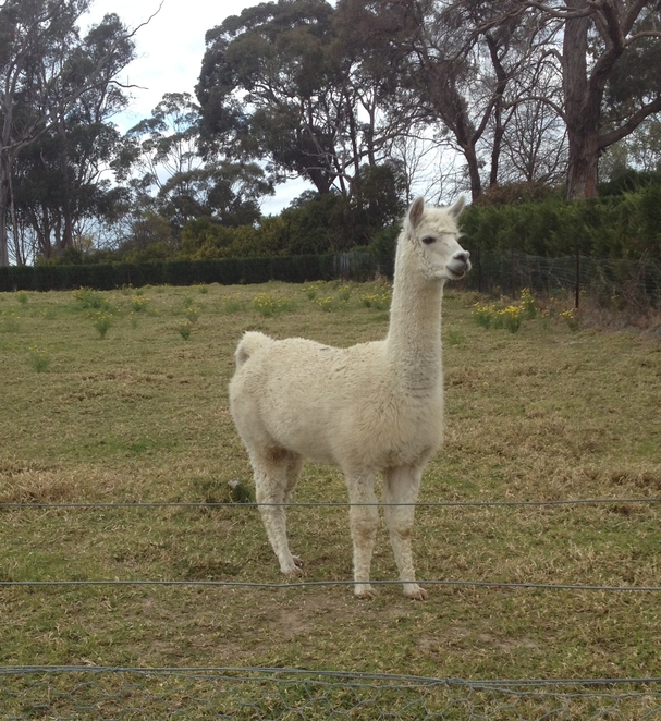Warrah, Warrah Farm Shop, organic, market garden, fruit and vegetables, alpaca