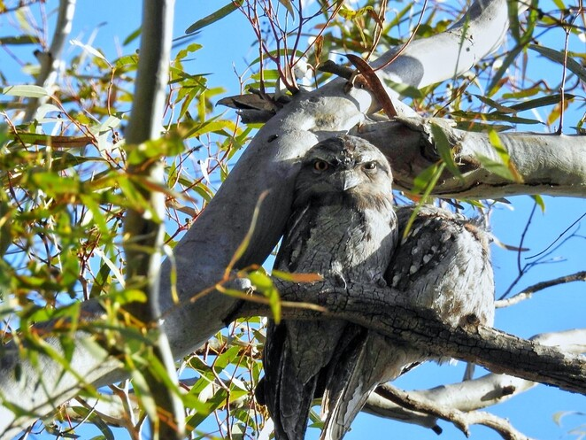 Free, Family Fun Day, kids, Shepherds Hill Recreation Park, park, Friends of Shepherds Hill Recreation Park, fun, recreation park, activities for kids, tawny frogmouths