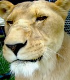 lion,lennon brothers circus