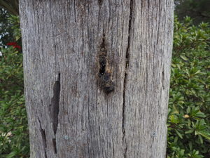 native bees, stingless bees