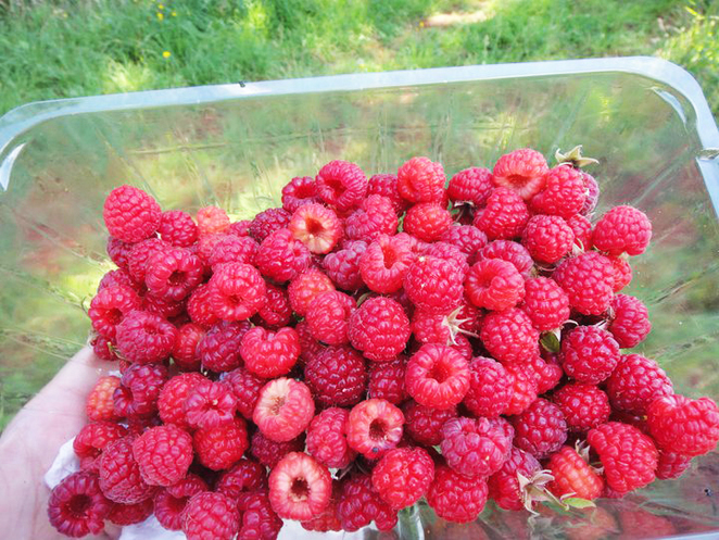 upick, berries, berry, raspberry, blueberry, boysenberry, strawberry, fruit, victoria, melbourne, places, list