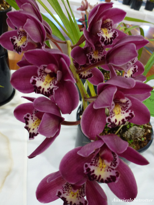 Boonah orchid Show, Boonah, Scenic Rim, Orchid, flower, plant